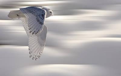 Snowy Digital Art - Snowy Owl In Flight by Mark Duffy