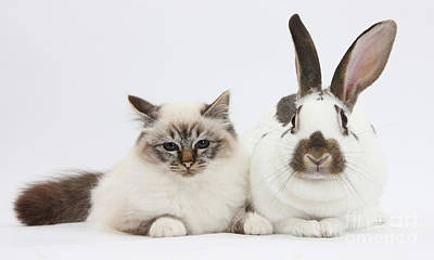 Tabby-point Birman Cat And Rabbit Print by Mark Taylor