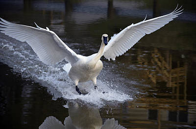 Pinion Photograph - Trumpeter Swan by Brian Stevens