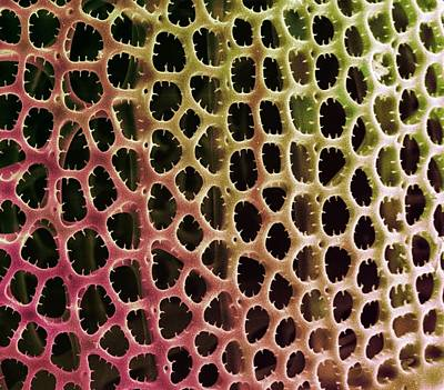 Diatoms Photograph - Diatom Alga, Sem by Steve Gschmeissner