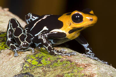 Crowned Poison Frog Art Print by Dante Fenolio
