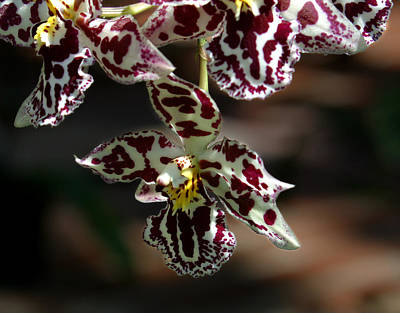 Exotic Photograph - Exotic Orchids Of C Ribet by C Ribet