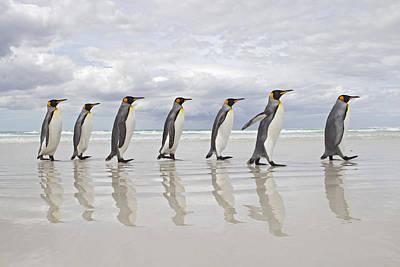 Photograph - King Penguin Aptenodytes Patagonicus by Ingo Arndt