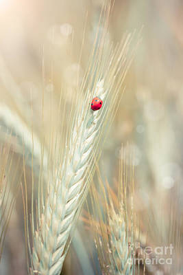 Cornfield Photograph - Ladybug On A Spike by Sabino Parente
