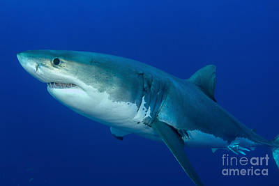 Photograph - Male Great White Shark, Guadalupe by Todd Winner
