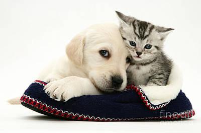 Golden Retriever Photograph - Puppy And Kitten by Jane Burton