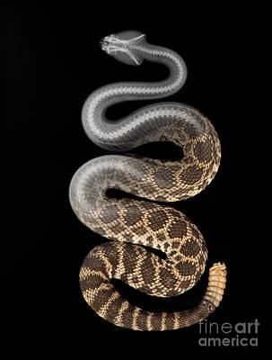 Photograph - Southern Pacific Rattlesnake X-ray by Ted Kinsman