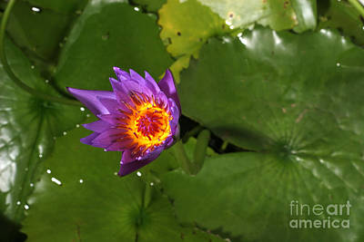 Cape Lily Photograph - Waterlily Opening Part Of A Series by Ted Kinsman