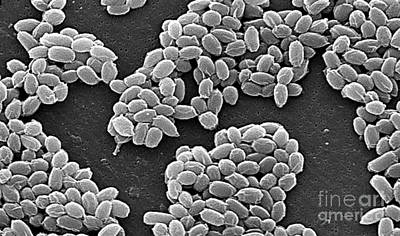 Anthrax Bacteria, Sem Art Print by Science Source