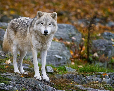 Wolves Photograph - Arctic Wolf by Michael Cummings