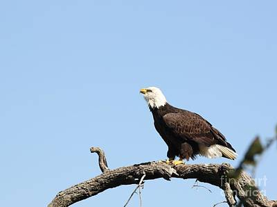 Photograph - Bald Eagle by Jack R Brock