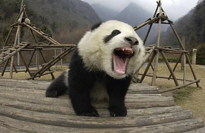 Giant Panda Ailuropoda Melanoleuca Art Print by Katherine Feng