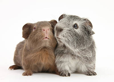 Cavy Photograph - Guinea Pigs by Mark Taylor