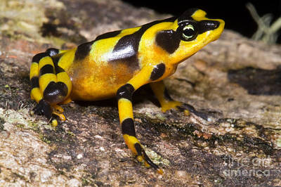 Central American Frogs Photograph - Harlequin Toad by Dante Fenolio