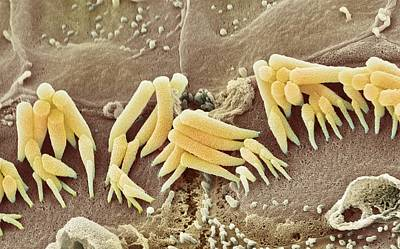 Inner Ear Hair Cells, Sem Art Print by Steve Gschmeissner