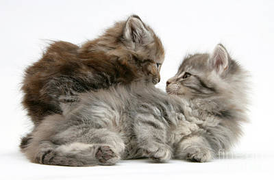 Photograph - Maine Coon Kittens by Mark Taylor