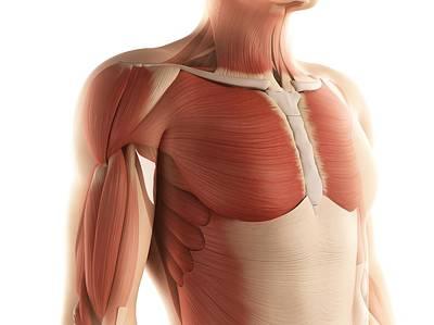 Human Joint Digital Art - Male Musculature, Artwork by Sciepro