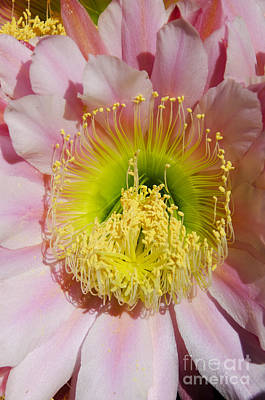 Photograph - Pink Cactus Flower by Jim And Emily Bush
