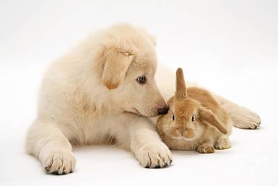 White German Shepherd Dog Photograph - Rabbit And Pup by Jane Burton