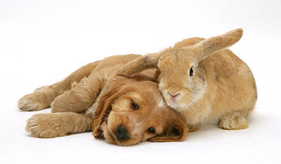 Golden Cockers Photograph - Rabbit And Puppy by Jane Burton