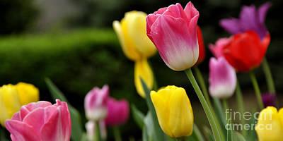 College Avenue Photograph - Tulip Garden University Of Pittsburgh  by Thomas R Fletcher