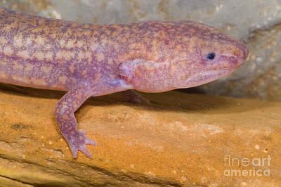 Late Stage Photograph - West Virginia Spring Salamander by Dante Fenolio