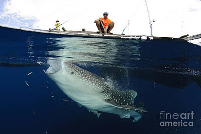Caesionidae Photograph - Whale Shark Feeding Under Fishing by Steve Jones