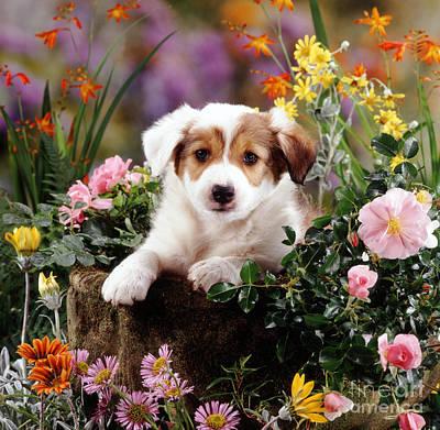 Animal Portraiture Photograph - Border Collie Puppy by Jane Burton