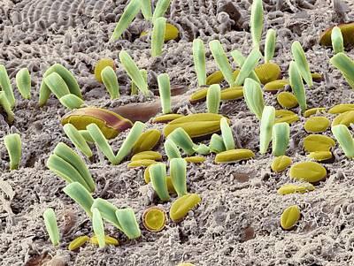 Diatoms, Sem Art Print by Steve Gschmeissner
