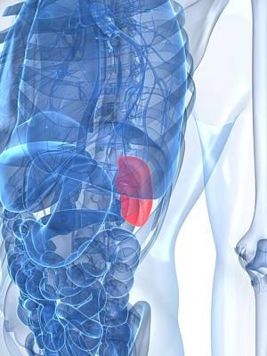 X-ray Image Digital Art - Healthy Spleen, Artwork by Sciepro