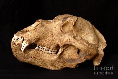 Kodiak Bear Skull Art Print