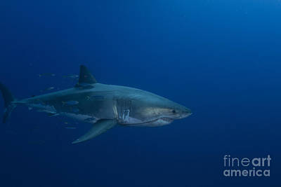 Mt Rushmore Royalty Free Images - Male Great White Shark, Guadalupe Royalty-Free Image by Todd Winner