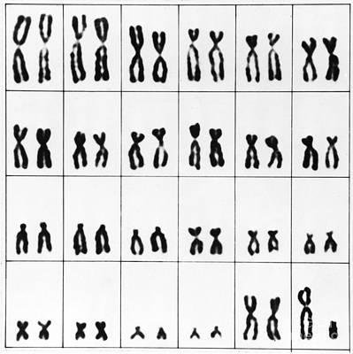 Heredity Photograph - Male Karyotype by Omikron