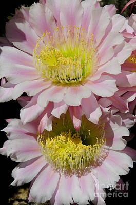 Photograph - Pink Cactus Flowers by Jim And Emily Bush