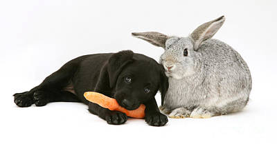 Lab Pup Photograph - Rabbit And Puppy by Jane Burton