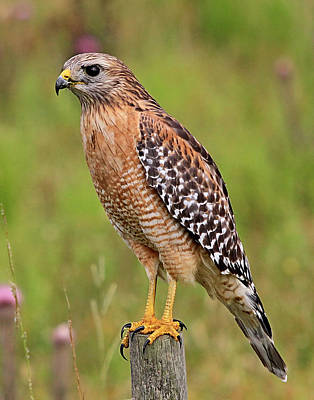 Photograph - Red Shouldered Hawk by Ira Runyan