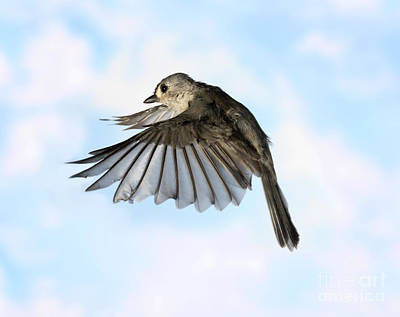 Titmouse Photograph - Tufted Titmouse In Flight by Ted Kinsman