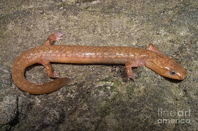 Plethodontidae Photograph - West Virginia Spring Salamander by Dante Fenolio