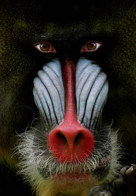 Mandrill Photograph - 927 by Peter Holme III