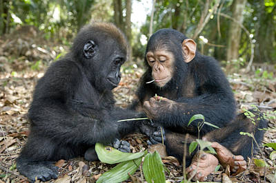 Number Of People Photograph - A Baby Gorilla And A Chimpanzee by Michael Poliza