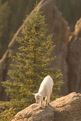 A Baby Mountain Goat Stands On Rock Print by Phil Schermeister