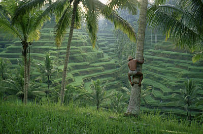Livelihood Photograph - A Bahasa Scales A Tree To Pick Coconuts by Justin Guariglia