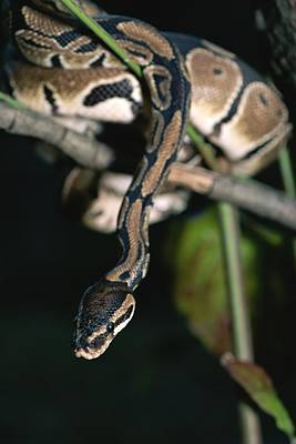 Ball Python Photograph - A Ball Python In A Tree by Taylor S. Kennedy