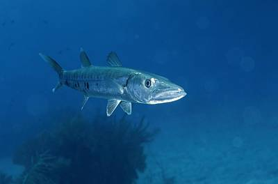 A Barracuda Fish Sphyraena Species Art Print by Wolcott Henry