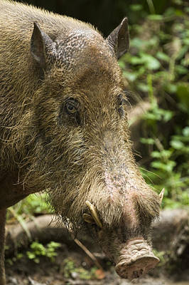 Danum Valley Conservation Area Photograph - A Bearded Pig Sus Barbatus by Tim Laman