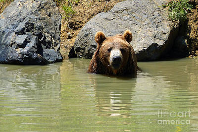 A Bear's Hot Tub Art Print by Methune Hively