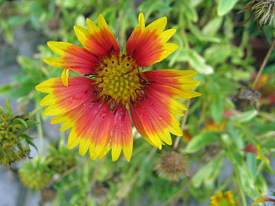 Art Print featuring the photograph A Beautiful Blanket Flower by Ashish Agarwal