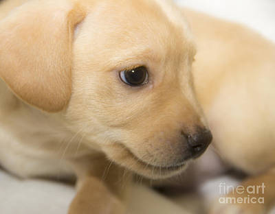 Photograph - A Beautiful Golden Puppy by Jeannette Hunt