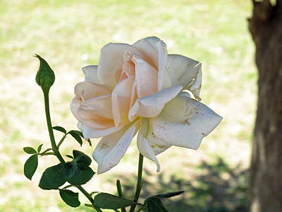 A Beautiful White And Light Pink Rose Along With A Bud Art Print by Ashish Agarwal