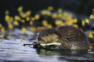 A Beaver Eating The Bark Off Of A Small Print by Michael S. Quinton